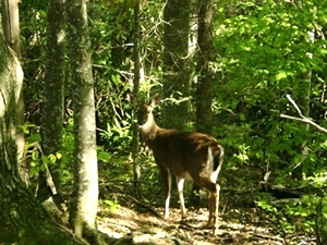 Smoky Mountains  wildlife